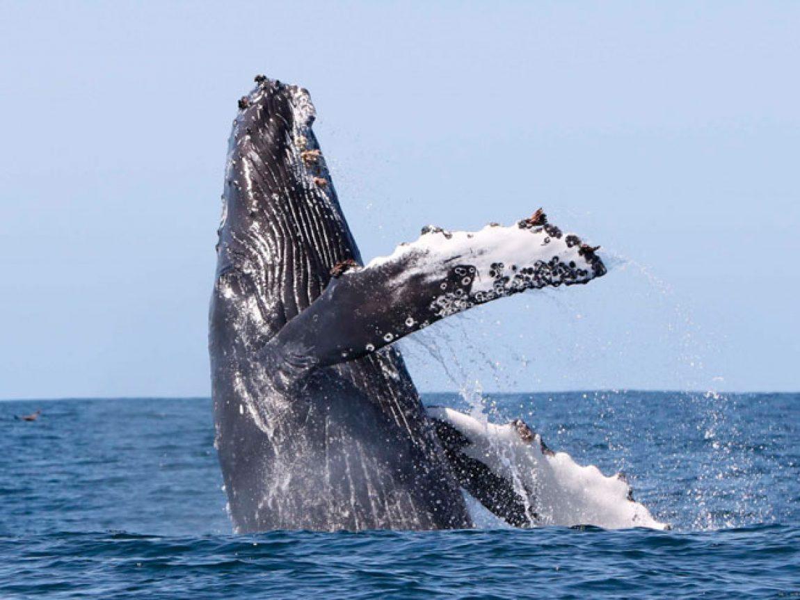 iceland west fjords humpback breaching laki