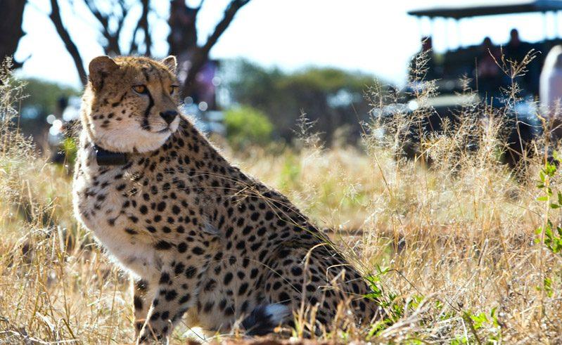 namibia africat cheetah game drive