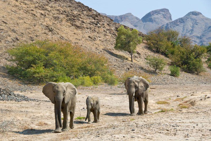 namibia damaraland desert elephants hoanib ntat