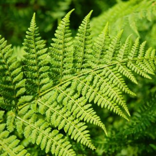 new zealand fern leaf do