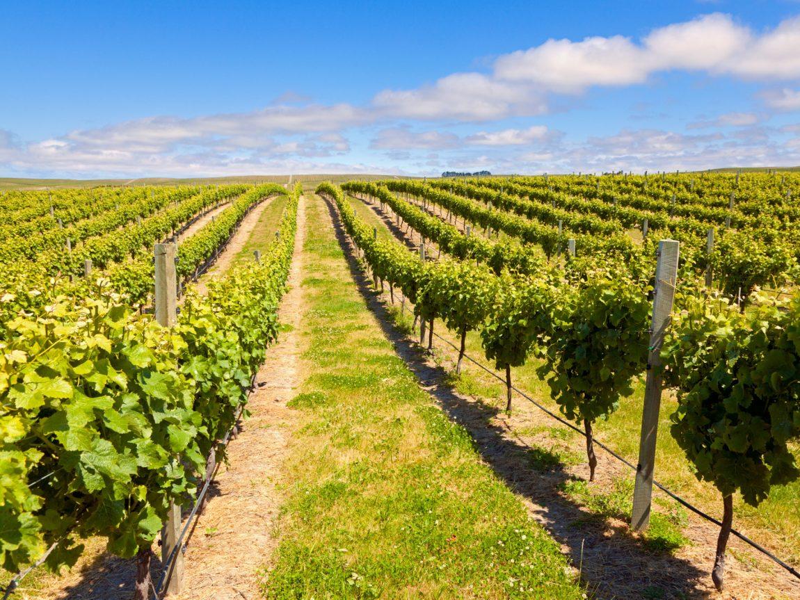 new zealand nelson marlborough vineyard istk