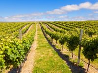 new zealand nelson marlborough vineyard istk