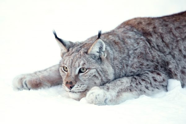 norway northern lynx hunting position istk