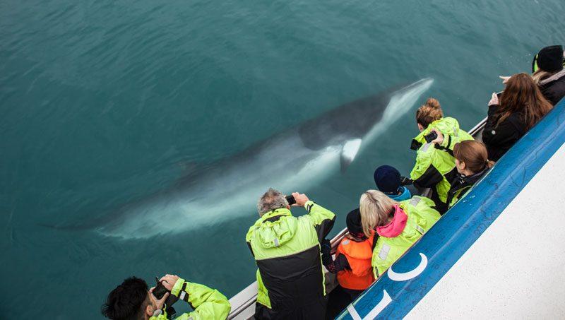 reykjavik whale watching minke st
