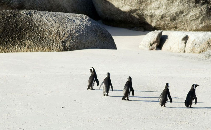 south africa cape town cape penguins on beach satb