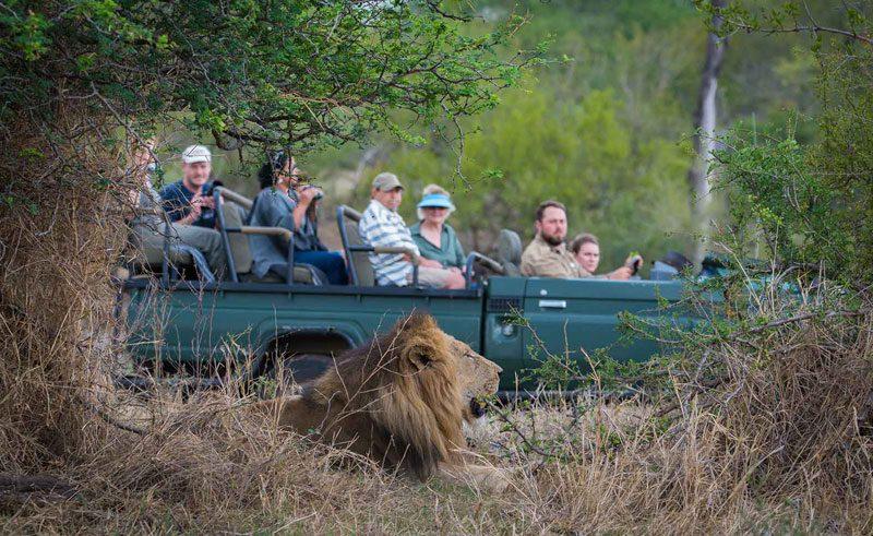 south africa kruger national park safari spotting lion