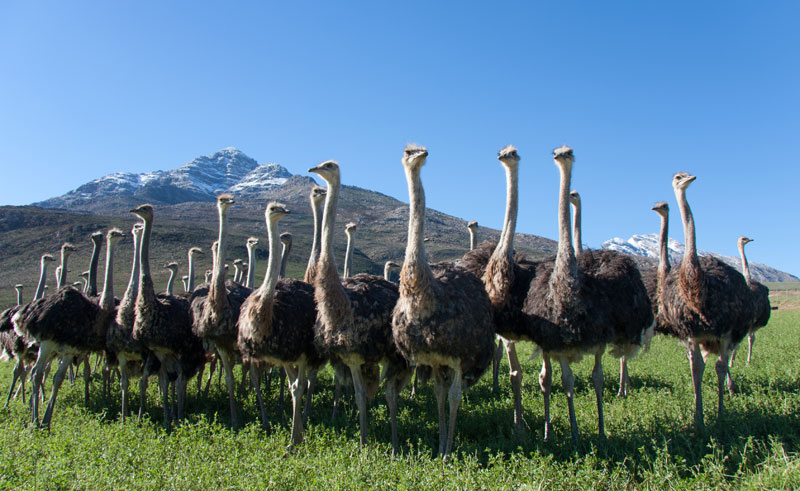 south africa oudtshoom ostriches istk