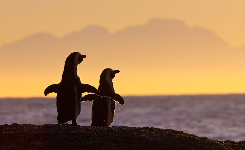south africa wildlife african penguins sunset istock