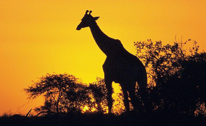 south africa wildlife giraffe silhouette at sunset satb