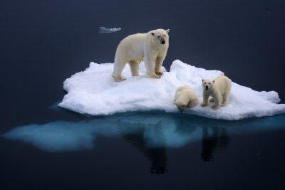 spitsbergen polar bear and cubs db