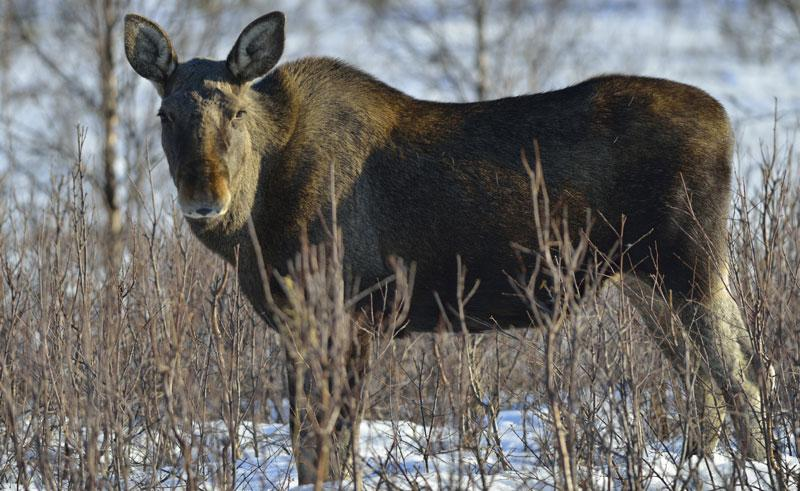 swedish lapland moose winter