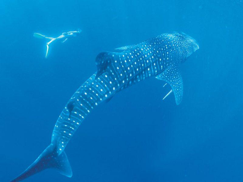 western australia coral bay whale shark swimming twa