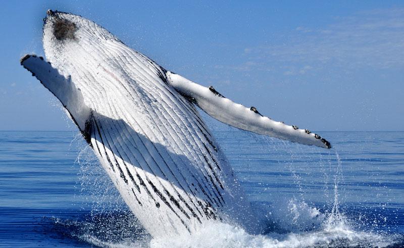 western australia exmouth humpback whale breaching
