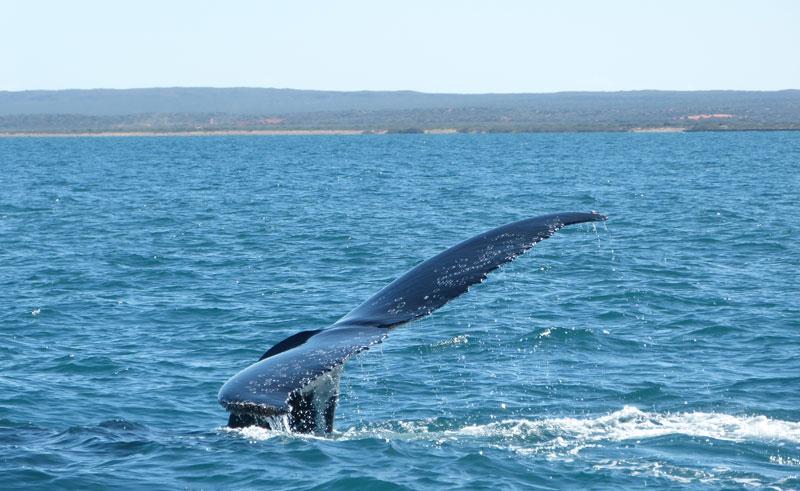 western australia exmouth humpback whale tail