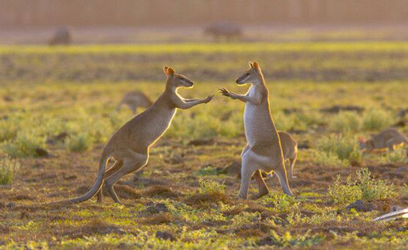 wildman wilderness lodge kangaroos