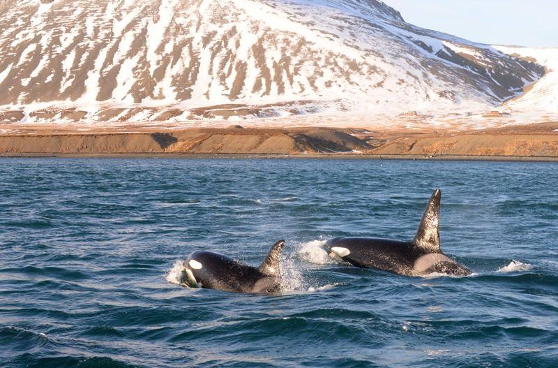 Iceland Orcas