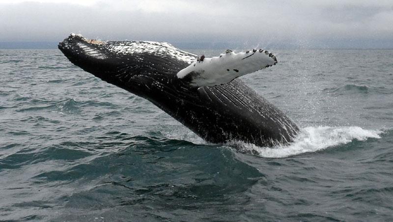 Iceland husavik Humpback Whale