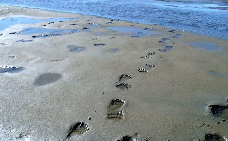 alaska katmai paw prints in sand