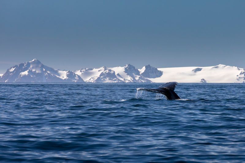 antarctica bransfield strait humpback tail istk