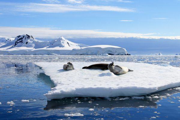 antarctica crabeater seals at rest istk