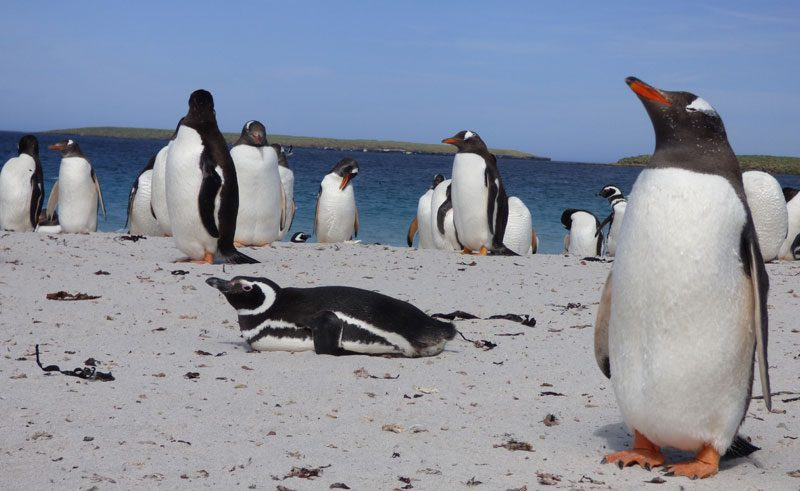 antarctica falklands bleaker island penguins