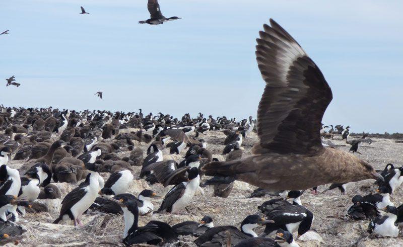 antarctica falklands bleaker island skua