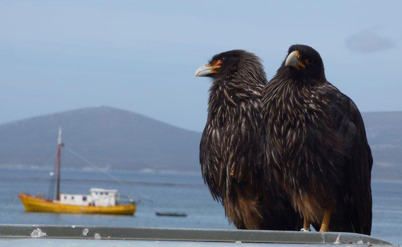 antarctica falklands carcass island caracara