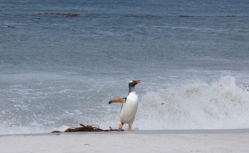 antarctica falklands carcass island gentoo