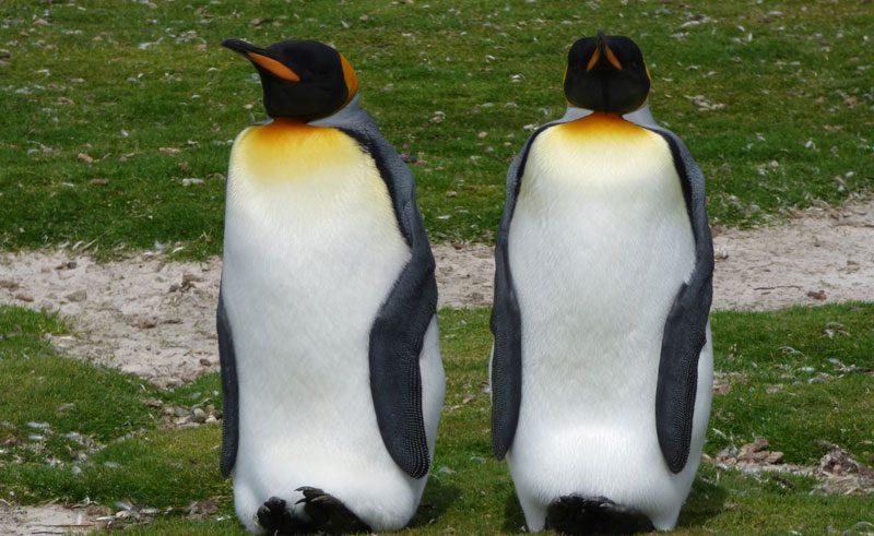 antarctica falklands volunteer point king penguins
