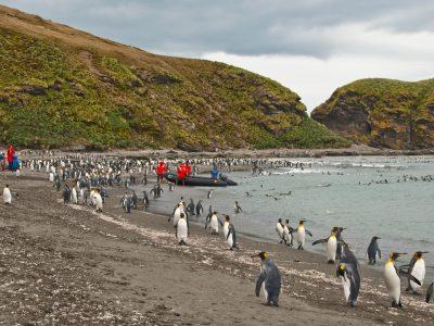 antarctica south georgia king penguins gold harbour istk