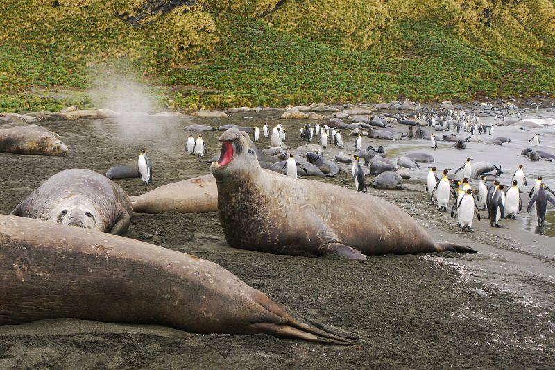 antarctica south georgia male elephant seal barking istk
