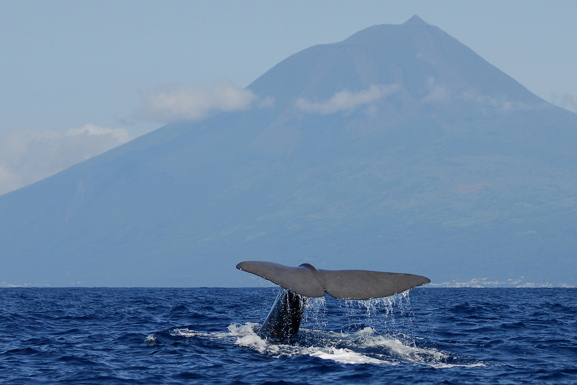 azores pico island sperm whale tail