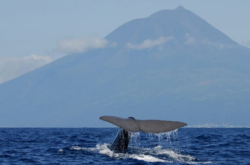 azores whale and mount pico
