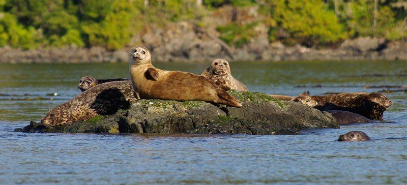 canada bc harbour seals