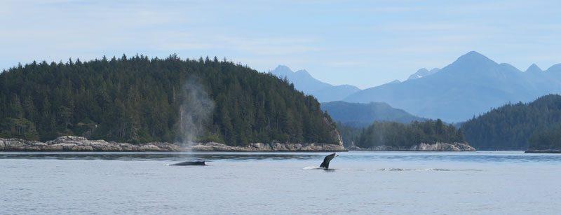 canada bc humpback whales bubble net feeding lg