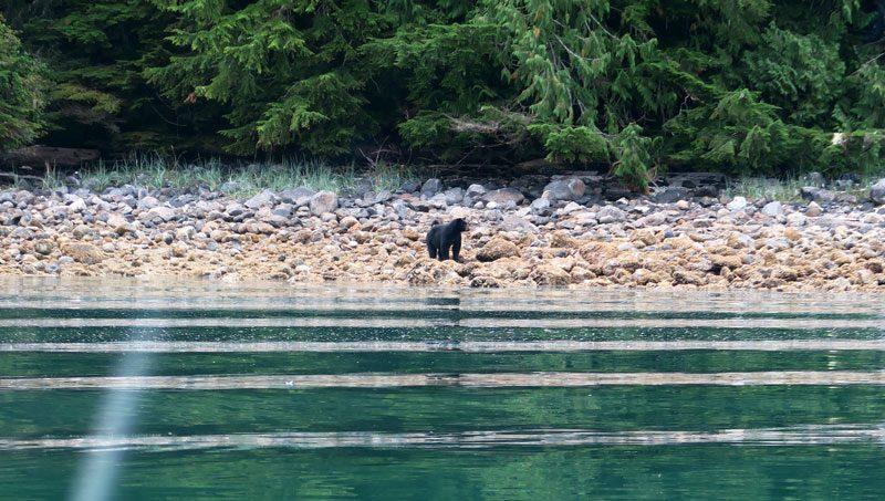 canada black bear farewell harbour lg