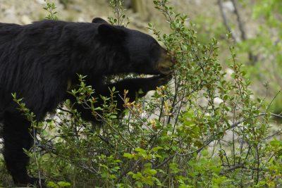 canada jasper national park black bear eating berries istk