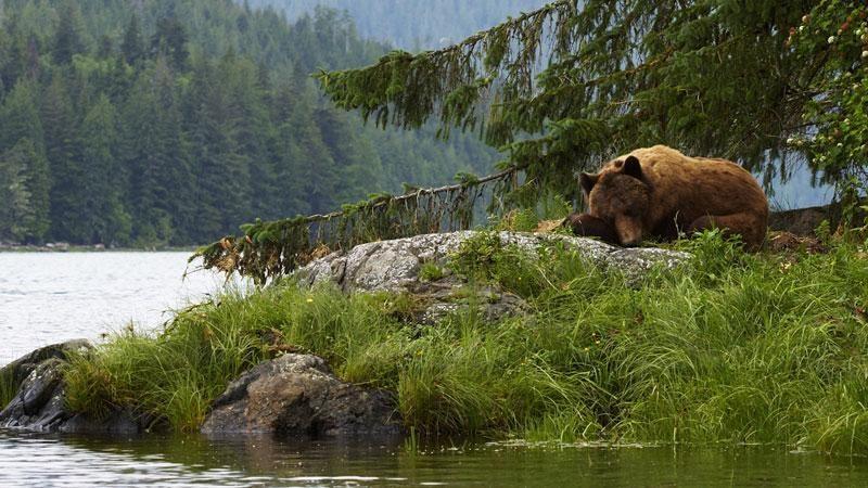 canada knight inlet bear