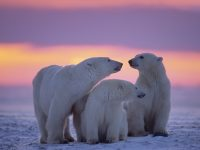 canada manitoba churchill polar bears sunset istk