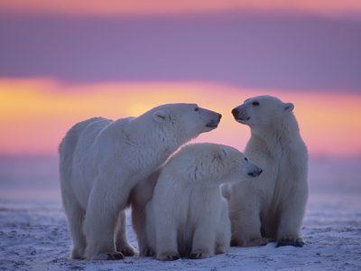 canada manitoba churchill polar bears sunset istk