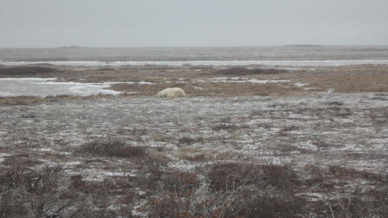 canada erin polarbears5
