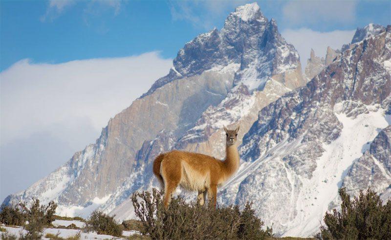 chile patagonia wildlife llama