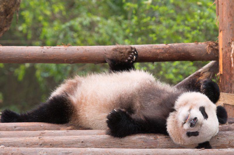 china chengdu lounging panda istk