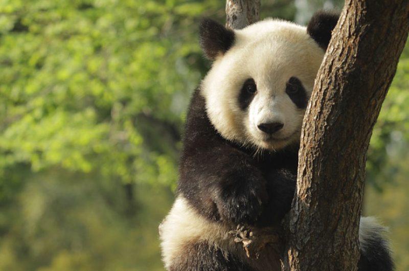 china wildlife panda2 istock