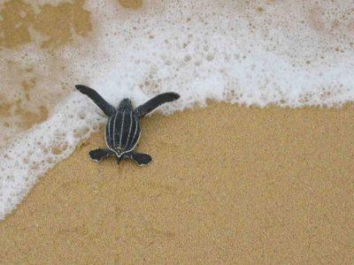 costa rica baby turtle on beach