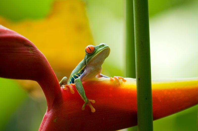 costa rica red eyed tree frog on plant istk