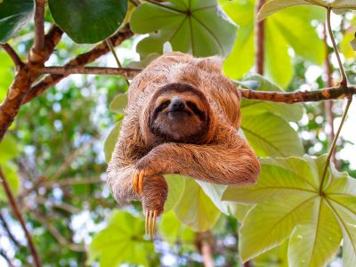 costa rica three toed sloth adstk