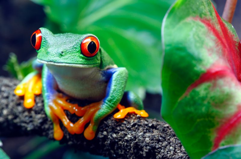 costa rica tree frog