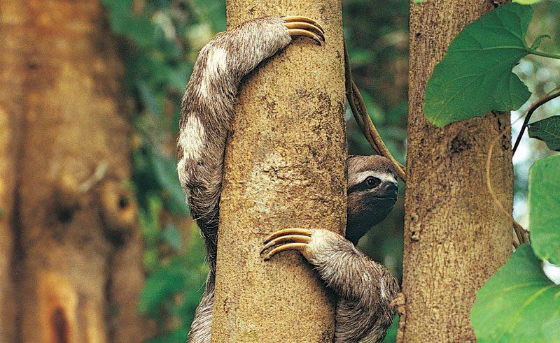 costa rica wildlife sloth rh