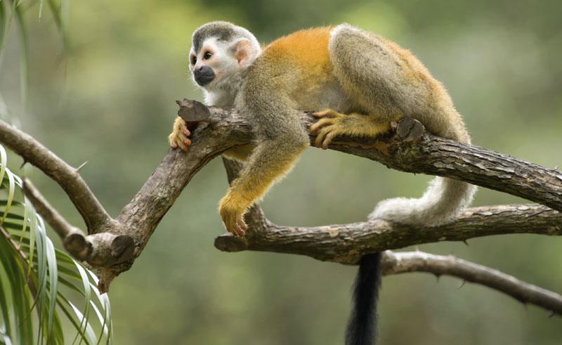 costa rica wildlife tree squirrel monkey istock